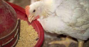 خرید دان مرغ گوشتی