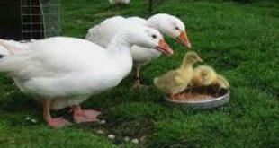 تولید دان اردک پرورشی