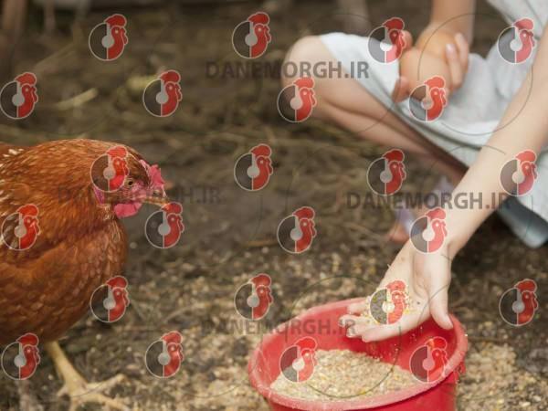 قیمت دان مرغ خانگی