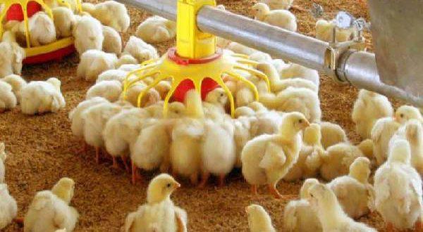 قیمت دانه مرغی